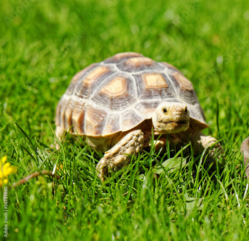 Papiers peints Tortue African Spurred Tortoise