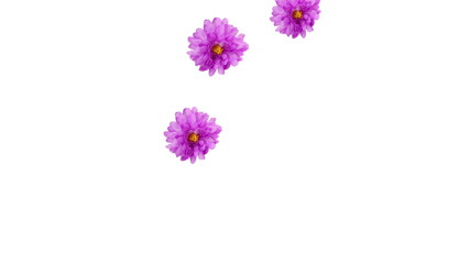 跳ねる菊の花