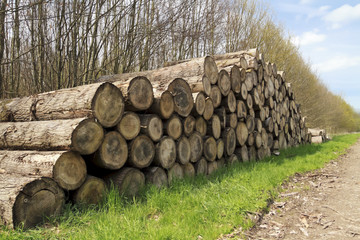 Mature cut tree logs