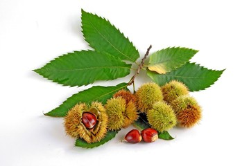 fruits and leaves of sweet chestnut tree