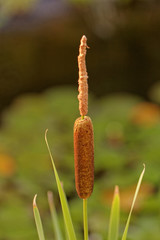 one reed bulrush