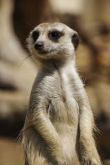 A Close Up Portrait of a Meerkat