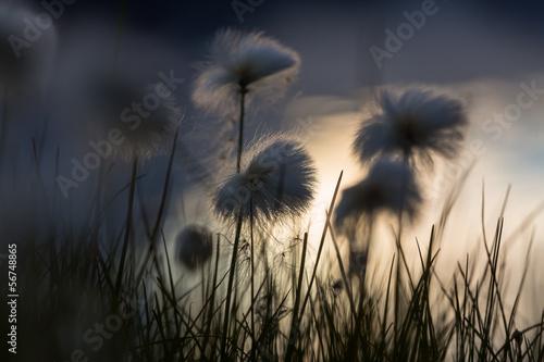 arktyczne-kwiaty
