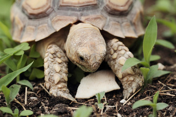 African Spurred Tortoise (Sulcata)
