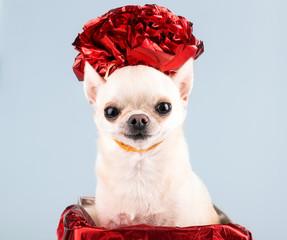 cute small dog in present box