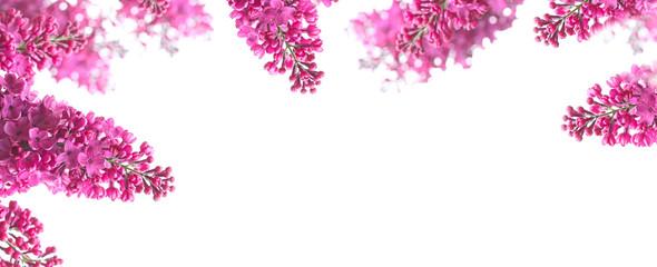 Fliederblüten vor weißem Hintergrund