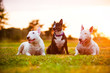 three english bull terrier dogs at sunset