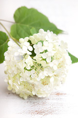 White hydrangea flower on a wooden vintage  background