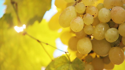 Cluster of yellow grapes - daylight breaks through a bunch