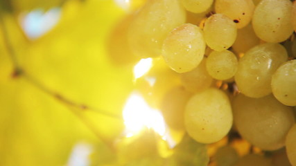 Bunch of yellow grapes - HD video clip