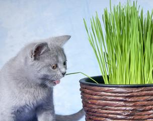 Katze frisst Katzengras
