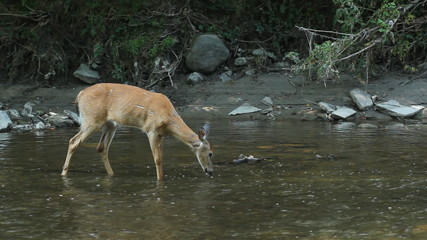 Female deer in the river. Rough marks and scarring on her hide.