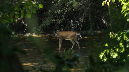 Deer sighting in the river. Don River, Toronto, Ontario.