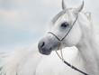 soft portrait of white wonderful arabian stallion  at sky backgr