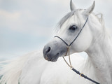 soft portrait of white wonderful arabian stallion  at sky backgr