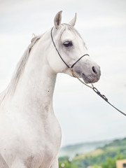portrait of white  purebred arab