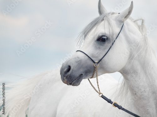 Fototapeta soft portrait of white wonderful arabian stallion at sky backgr