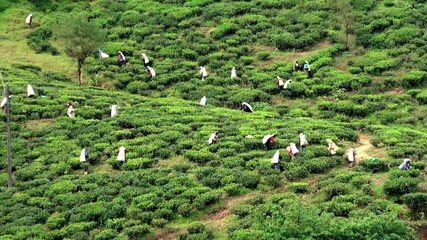 Female workers picking tea leaves. Sri Lanka.