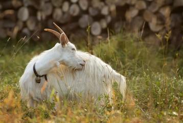 weiße hausziege / white goat