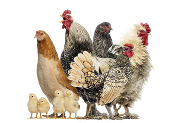 Group of hens, roosters and chicks, isolated on white