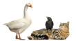 Domestic goose looking down at a cat and Jackdaw, isolated