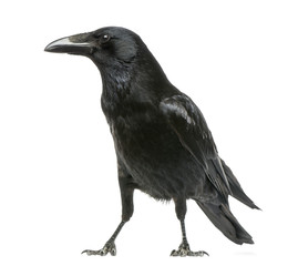 Side view of a Carrion Crow, Corvus corone, isolated on white