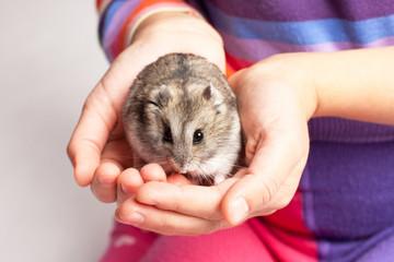 Djungarian hamster in girl hand