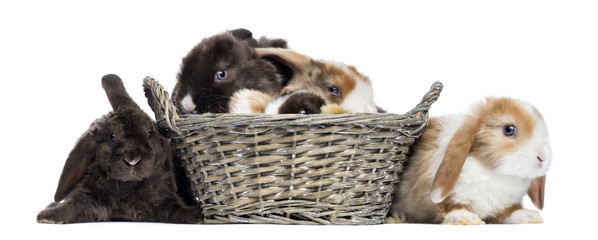 Group of Satin Mini Lop rabbits in a wicker basket
