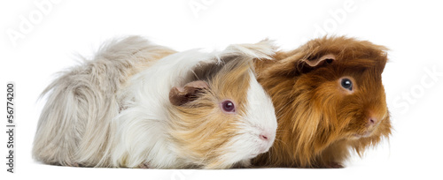 Two Peruvian Guinea Pigs, isolated on white