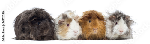 Four Peruvian Guinea Pigs in a row, isolated on white