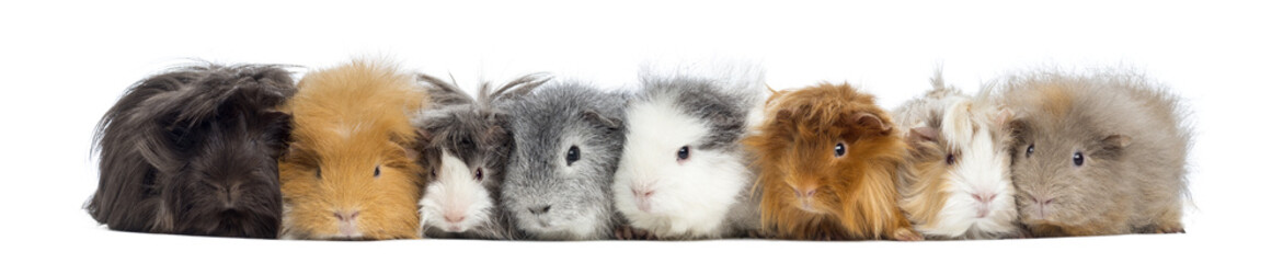 Guinea Pigs in a row, isolated on white