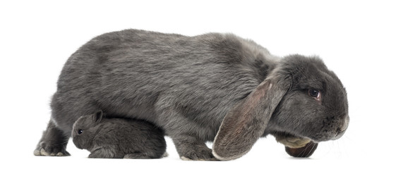 Side view of a Lop-eared rabbit and young rabbit, isolated