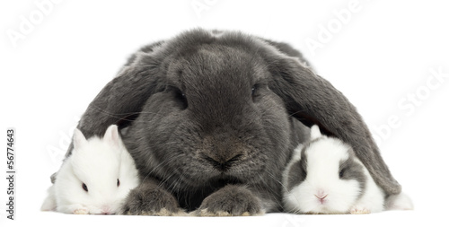 Lop-eared rabbit and young rabbits, isolated on white