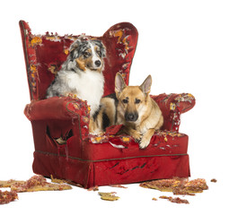German and Australian Shepherd, Poodle on a destroyed armchair
