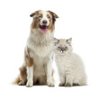 British Longhair kitten and Australian Shepherd sitting