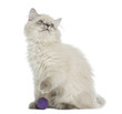 British Longhair kitten sitting with a ball, looking up