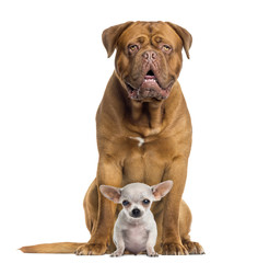 Dogue de Bordeaux and baby Chihuahua sitting, facing, isolated