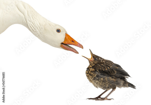 Side view of a Domestic goose and a Common Blackbird facing
