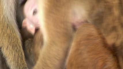 Wild macaque is breastfeeding baby
