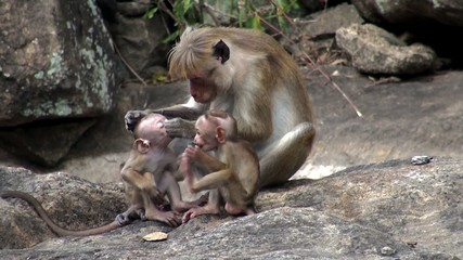 A flock of wild macaques with babies