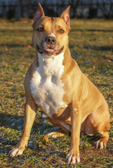 Orange Dog of American Staffordshire Terrier breed