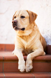 Labrador retriver in posa,