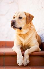 Labrador retriever giallo in attesa