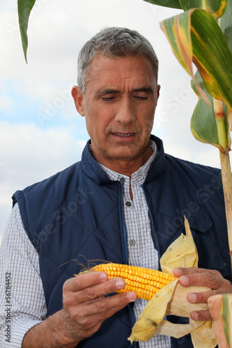 Farmer looking at a cob of sweetcorn