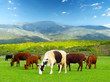 Cows on the field. Agricultural landscape