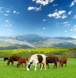 Cows on the farm field. Agricultural landscape