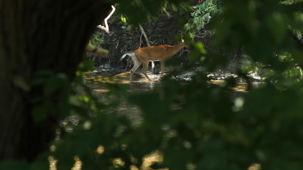 Deer sighting. Don River, Toronto, Ontario.