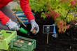 Planting, flower bulb - woman  planting tulip bulbs