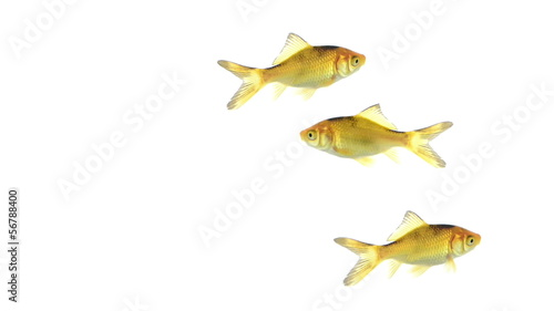 Group of goldfish swimming