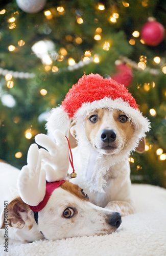 Jack Russell Terriers at Christmas